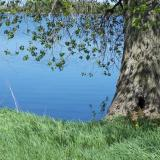 Image of a tree on the shoreline of Phelps Lake
