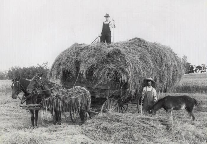 Black and white image of two horses pulling a hay wagon with a man on top and one man with a donkey beside the wagonFarm Horses