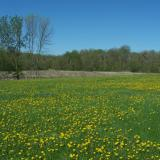 Image of a meadow in McCullough park with yellow flowers