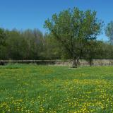 Image of a meadow in McCullough park with yellow flowers and trees