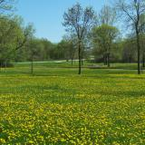 Image of a meadow in McCullugh park with yellow flowers