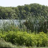 Image of the Shields Lake reeds and water foliage